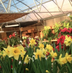 Daffodils in greenhouse