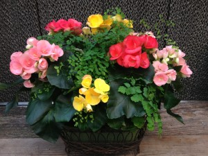 Rieger begonias add color and beauty to containers, or are wonderful on their own too!