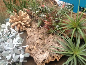 air plants - we think they will look great attached to the bark pieces here!