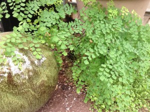 this southern maidenhair fern is growing in asphalt...
