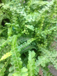 Lemon button fern adds great texture to any composition