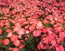 New Guinea impatiens - photo courtesy of Erik Runkle, Michigan State University