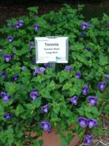 Torenia - photo courtesy of Michigan State University Trial Gardens
