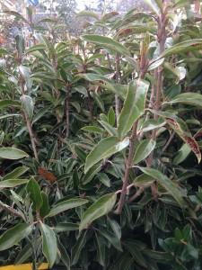 Viburnum 'Awabuki' Beautiful as a screening shrub