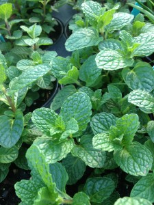 Mint 'Kentucky Colonel'
