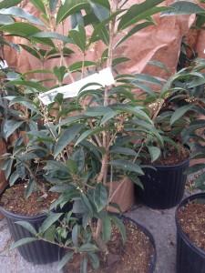 Fragrant tea olives... Osmanthus 'Fudzinghou'