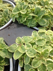 variegated oregano