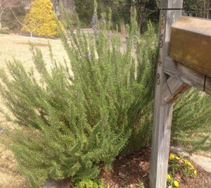 Yes, that is one rosemary!