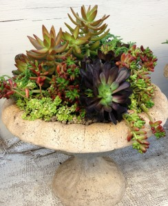 A customer's urn filled with sedums, aeonium and other succulents