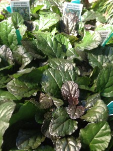 Ajuga - there are some great ones!