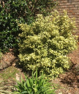 Osmanthus 'Goshiki' this is a tough shrub!