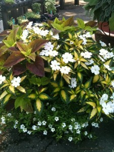 This is a variegated leaf Sunpatiens. They are also have solid green leaves....