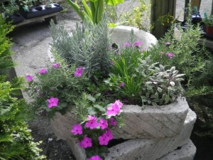 Trailing pink vinca works well with sun loving herbs of lavender, sage and chives in this trough planting....