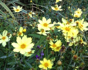 Coreopsis 'Full Moon'