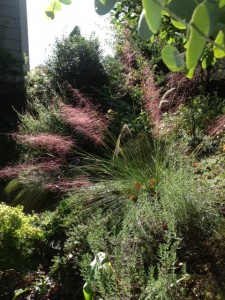 back lit in the sun, muhly grass shines come late summer/fall