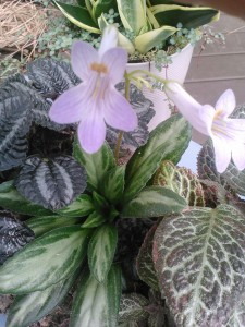 chirita and episcia