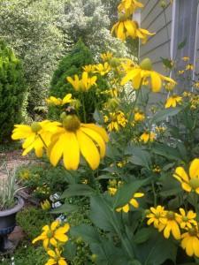 Rudbeckia 'Herbstonne'
