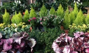 Greenhouse Photo w/Lemon Cypress, Rex Begonias & Kalanchoes