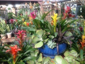 bromeliads brighten the greenhouse...