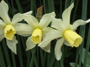 Narcissus - Jack Snipe