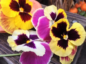 Pansy Majestic Giants Patricia