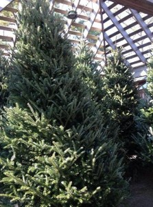 Christmas trees fill the nursery....