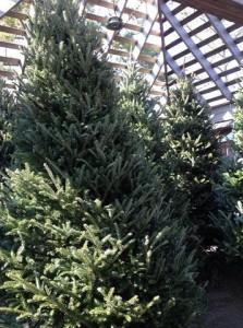 Christmas trees fill the nursery....