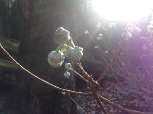 Edgeworthia buds...