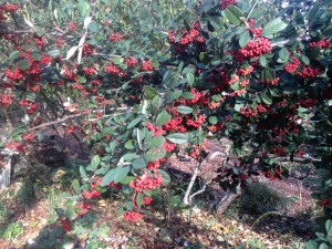 Parney's clusterberry cotoneaster...the cedar wax wings will devour these berries in another few weeks!