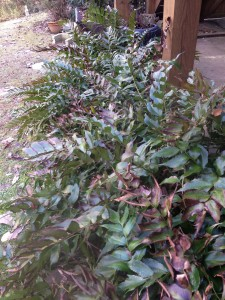 Cyrtomium falcatum - Holly Fern - January