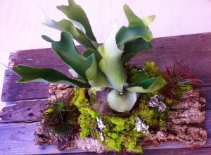 Chartreuse reindeer moss and air plants add color to this staghorn fern...