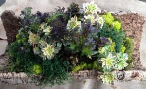 Cork Bark Planter - Aeonium, Mustard & Thyme
