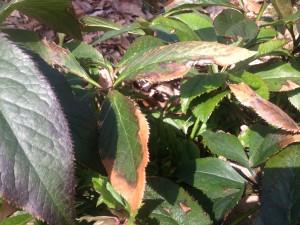 Winter damaged leaves of lenten roses...