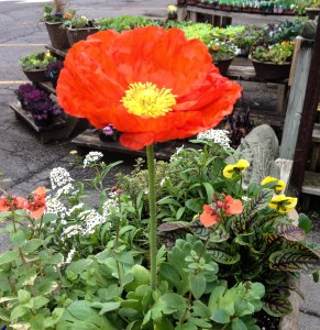 Poppy and cool season annuals, diascia, sweet allysum and pansies