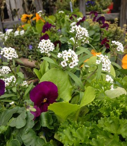 Sweet allysum, lettuce and violas