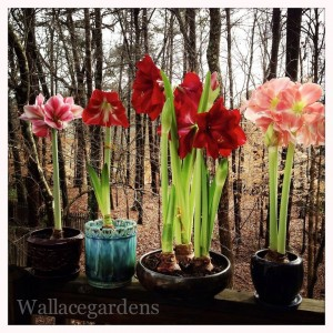 Wallace Gardens beautiful amaryllis..