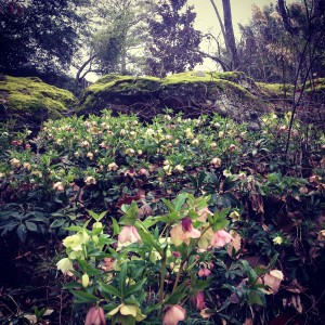Lenten Roses blooming below the rocks....