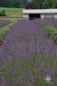Lavender 'Phenomenal;  Photo Courtesy Peace Tree Farms