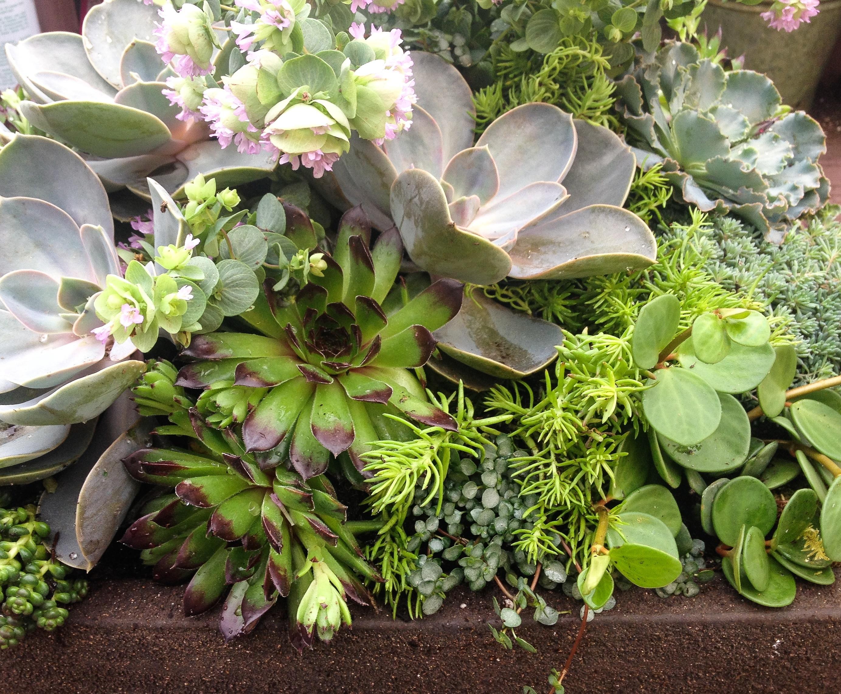 Succulent Planting - Closeup