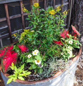 Thryallis, Ornamental Peppers, Profusion Zinnias, 'Red Flash' caladium, Coleus