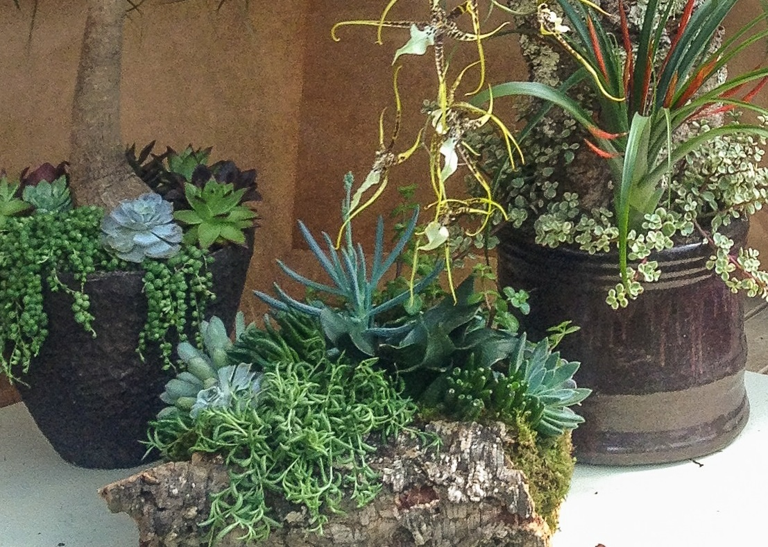 Brassidium orchid display - succulents