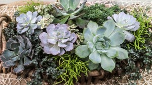 Succulents: Echevarias, Rhypsalis, Variegated Jade, Sedum and Pilea 'Aquamarine'