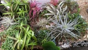 Tillandsia ( Air Plants), Succulents (Hechtia glomerata) and Rhypsalis