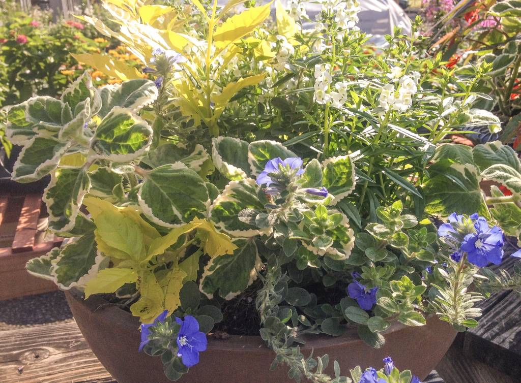 Light-Weight Brown Bowl Planted - White Angelonia, Swedish Ivy, Blue Daze, Yellow Duranta