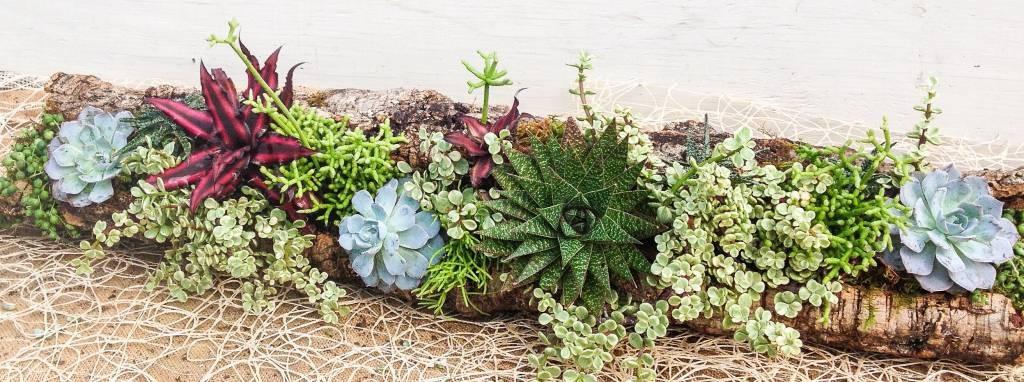 Cork Bark and Succulents - Echevaria, Variegated Jade, Rhypsalis, Cryptanthus, Haworthia, String of Pearls
