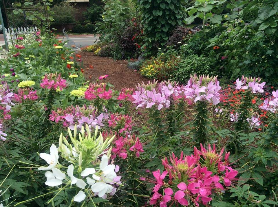 Community Garden - Cleomes