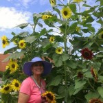 Dwarfed by the sunflowers...