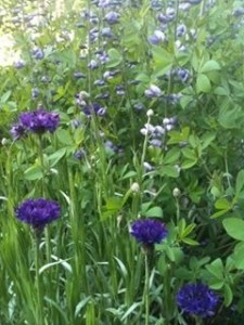 With Baptisia in the spring...