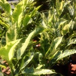 Croton 'Tamara'