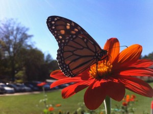 Monarch butterfly on tithonia